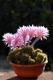 Cactus avec la fleur Photographie stock libre de droits