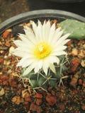 Cactus avec la fleur blanche et l'épine photographie stock