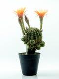 Cactus avec la fleur orange dans un pot Image stock