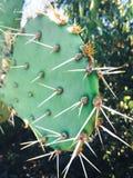 Cactus avec le brun de fruit Photographie stock