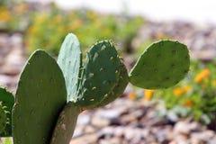 Cactus avec le brun de fruit Photos stock