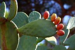 Cactus avec le ressembler de garnitures aux doigts Photo libre de droits