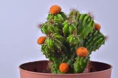Cactus avec les fleurs jaunes dans un pot de fleur photo stock