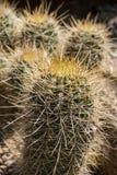 Cactus avec les transitoires énormes, macro tir photo libre de droits