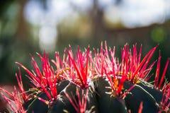 Cactus avec les transitoires rouges photographie stock