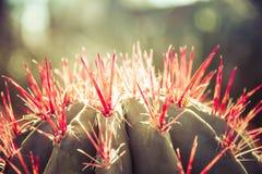 Cactus avec les transitoires rouges images libres de droits