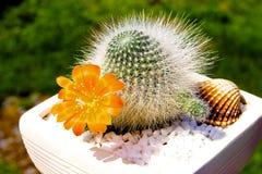 Cactus avec une palourde dans un pot japonais photo libre de droits