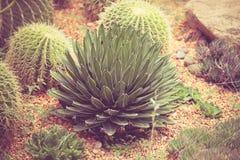 Cactus avec vintage d'effet de filtre le rétro Images libres de droits