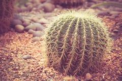 Cactus avec vintage d'effet de filtre le rétro Image stock