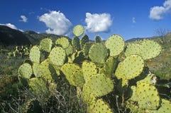 Cactus, AZ Royalty Free Stock Photography