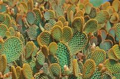 cactus azulverdes Fotos de archivo