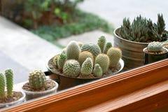Cactus. Baby cactus outside the window Stock Photos