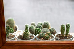 Cactus. Baby cactus outside the window Stock Images