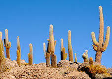 Cactus background Stock Photography