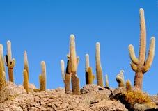 Cactus background. Fine image of cactus in Bolivia desert, landscape background stock photography