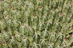 Cactus background Stock Photo