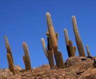 Cactus background Stock Image