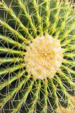 Cactus background Royalty Free Stock Photo