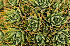 Cactus background. Image of densely formed cactus from straight above Stock Image