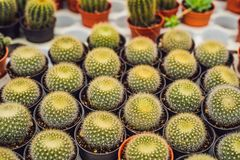 Cactus background pattern. Small cacti in pots.  stock photo