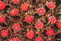 Cactus background pattern. Small cacti in pots.  royalty free stock photography