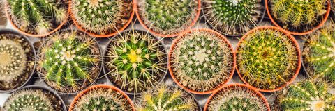 Cactus background pattern. Small cacti in pots BANNER long format. Cactus background pattern. Small cacti in pots. BANNER long format royalty free stock photo