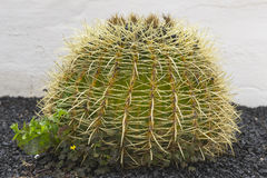 Cactus on the background wall Stock Images
