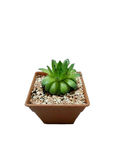 Cactus. Background white Royalty Free Stock Photo