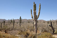 Cactus, Baja Fotografia Stock Libera da Diritti
