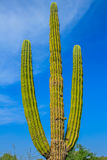 Mexican cactus. Large elephant Cardon cactus or cactus (Pachycereus pringlei) at a desert landscape with blue sky, Baja California Sur, Mexico Royalty Free Stock Images