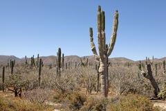 Cactus, Baja. Cactus in the desert, Baja, California Royalty Free Stock Photo