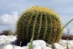 Cactus ball. With thorns on the flower bed in Turkey royalty free stock photos