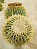 Cactus balls. Big ball cactus in garden botanic stock photos