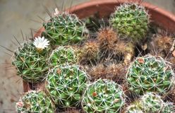 Cactus balls with a flower royalty free stock photos