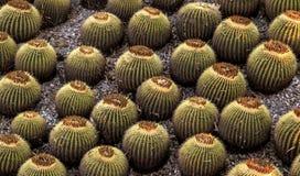 Cactus balls plants botanical garden Royalty Free Stock Photography