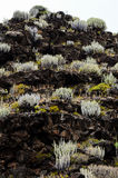 Cactus on the Basaltic Volcanic Mountain Stock Images