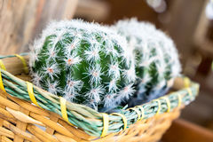 Cactus. Basket with cactus in the garden stock photo