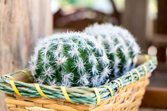 Cactus. Basket with cactus in the garden royalty free stock photo