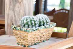 Cactus. Basket with cactus in the garden stock image