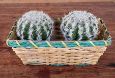 Cactus. Basket with cactus in the garden stock photography