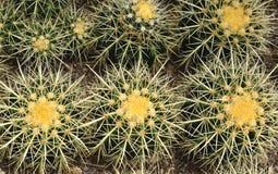 Cactus. Beautiful cactus in the garden Stock Photography