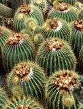 Cactus. Beautiful cactus in the garden Stock Photo