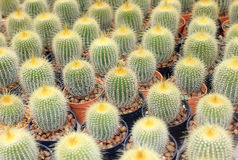 Cactus. Beautiful cactus in the garden Stock Photos