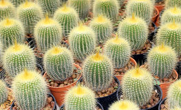 Cactus. Beautiful cactus in the garden Royalty Free Stock Photos