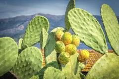 Cactus. Beautiful, large and full of life cactus in all its beauty in the Mediterranean sun Stock Photography