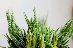 Cactus. Beautiful cactus named Haworthia or fasciata Stock Image