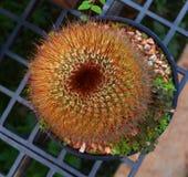 Cactus beautiful Stock Photography