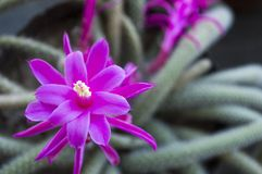 Cactus with beautifull purple flower Royalty Free Stock Photo
