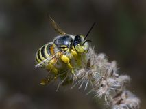 Cactus Bee resting Royalty Free Stock Images