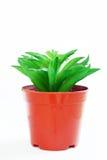 Cactus bello del drago verde che cresce in POT di plastica fotografie stock